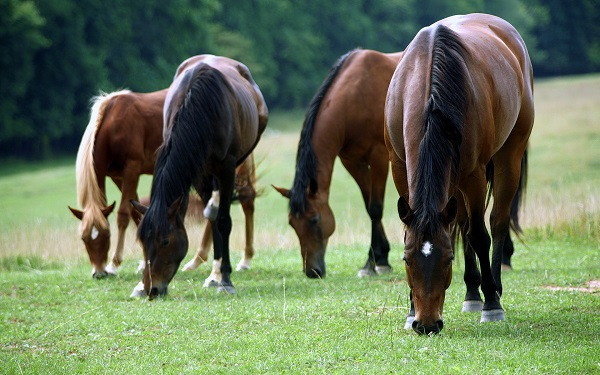 Gastric Ulcers in Horses