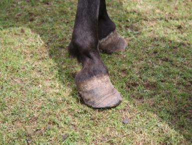 Tips To Avoid Laminitis